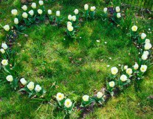 Tulpen in Herzform